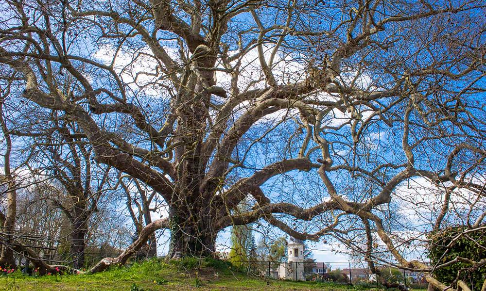 Votez pour l'arbre de l'année !